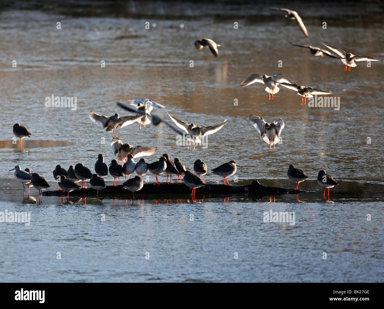 Redshank (Tringa totanus) flock landing on submerged log - Stock Image
