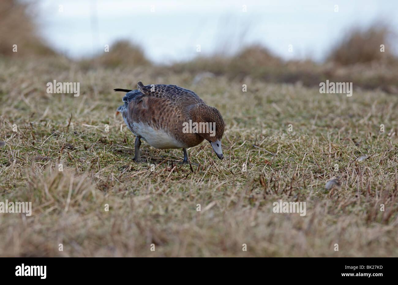 Wigeon (Anas penelope) grazing on marshland - Stock Image