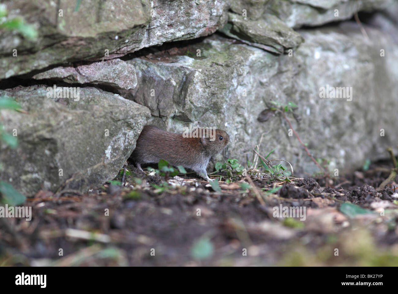 Bank vole (Clethrionomys glareolus) coming out of hole in stone wall - Stock Image