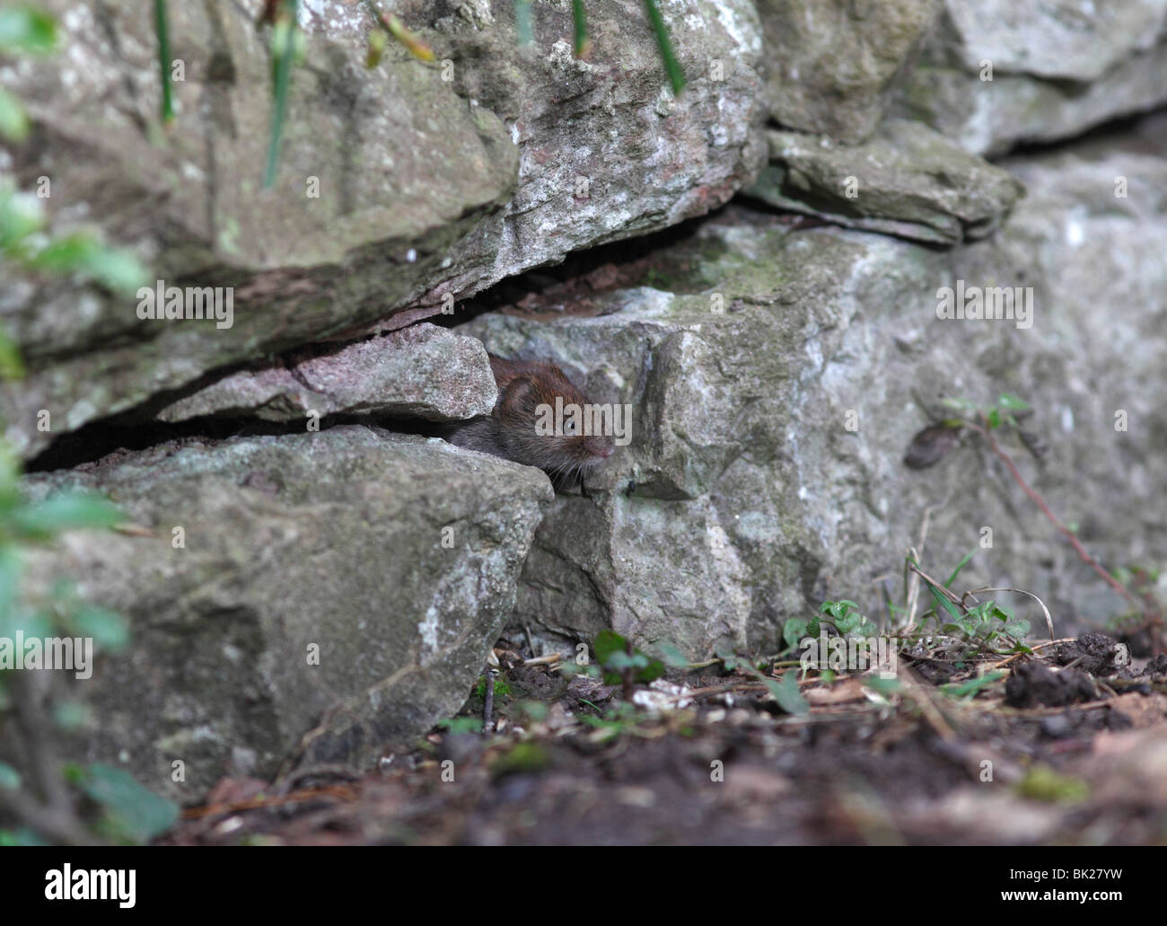 Bank vole (Clethrionomys glareolus) looking out of hole in stone wall - Stock Image