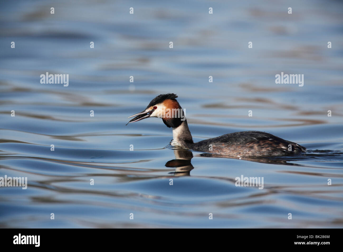 Great crested grebe (Podiceps chritatus) with stickleback - Stock Image