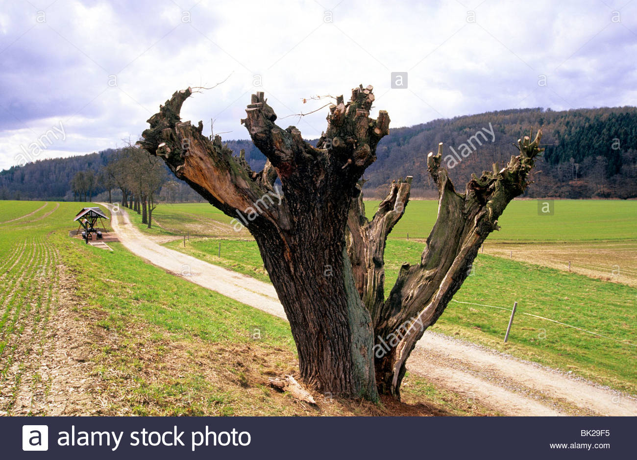 pollard willow tree, Germany - Stock Image