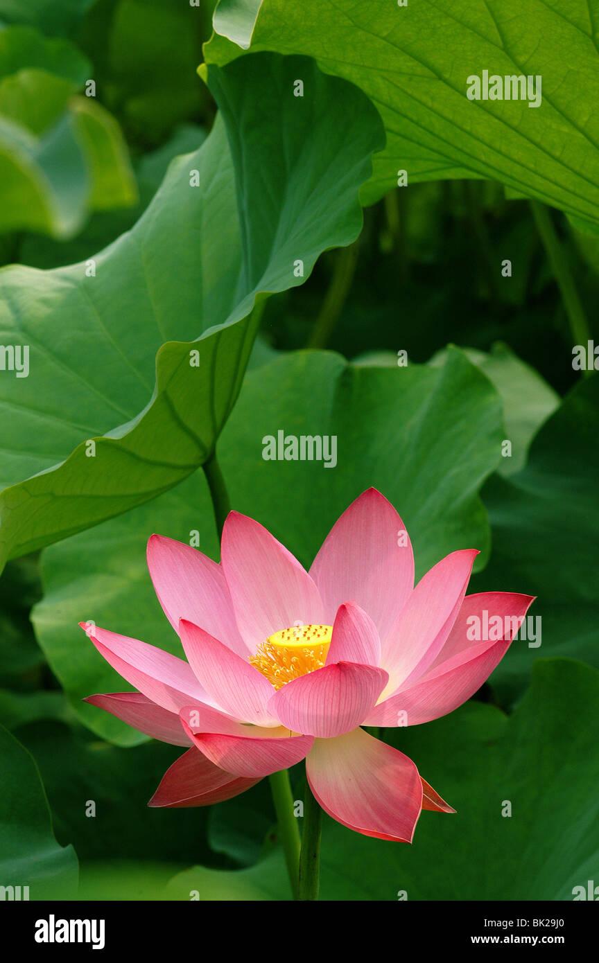 Chinese lotus flower stock photos chinese lotus flower stock beautiful chinese pink lotus flower stock image izmirmasajfo