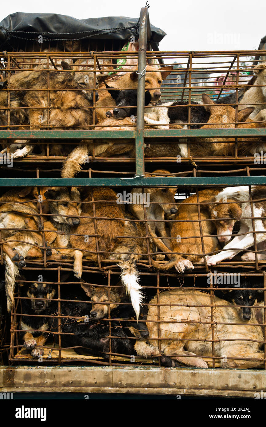 Dogs raised in Thailand and exported to Vietnam for meat suffer long journeys tightly packed in cages without food - Stock Image