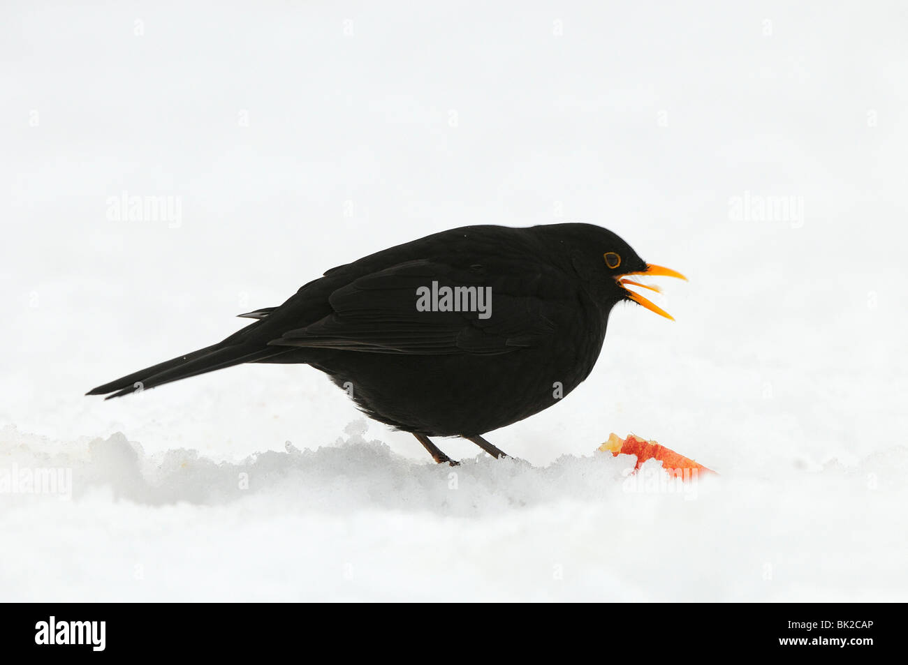 Blackbird (Turdus merula) male in snow feeding on apple, Oxfordshire, UK. - Stock Image