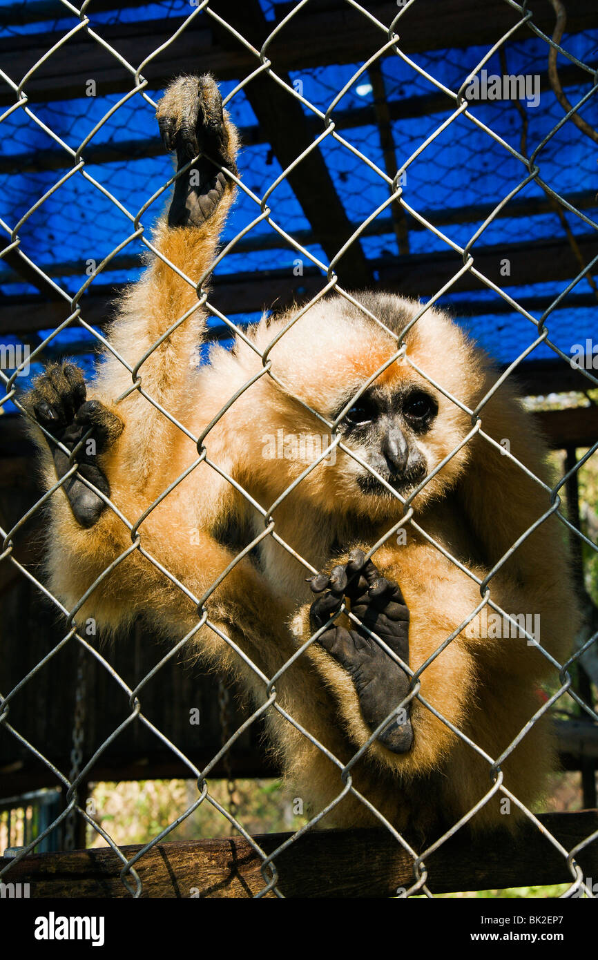 Gibbon monkey in a cage at Cat Tien National Park HQ. - Stock Image