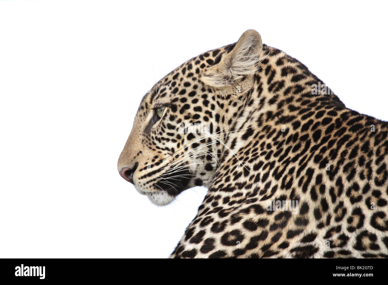Profile of a Leopard's head - Stock Image