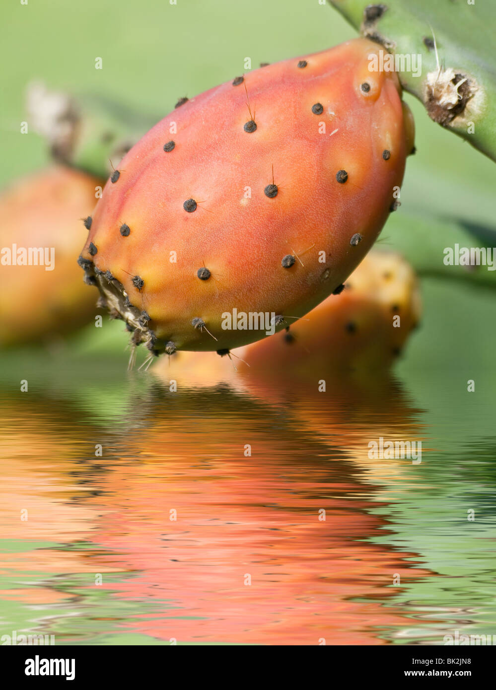 ripe indian fig is reflected on water - Stock Image