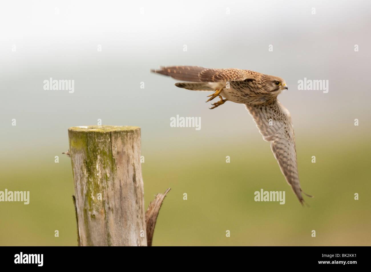 Kestrel (Falco tinniculus), Kent, UK - Stock Image