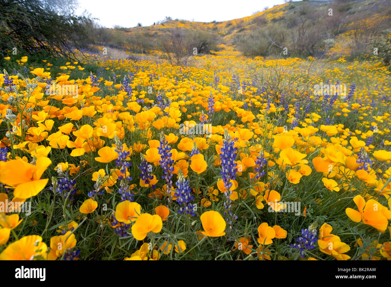 A large field of orange and yellow poppies and wildflowers at Catalina State Park near Tucson, Arizona. - Stock Image