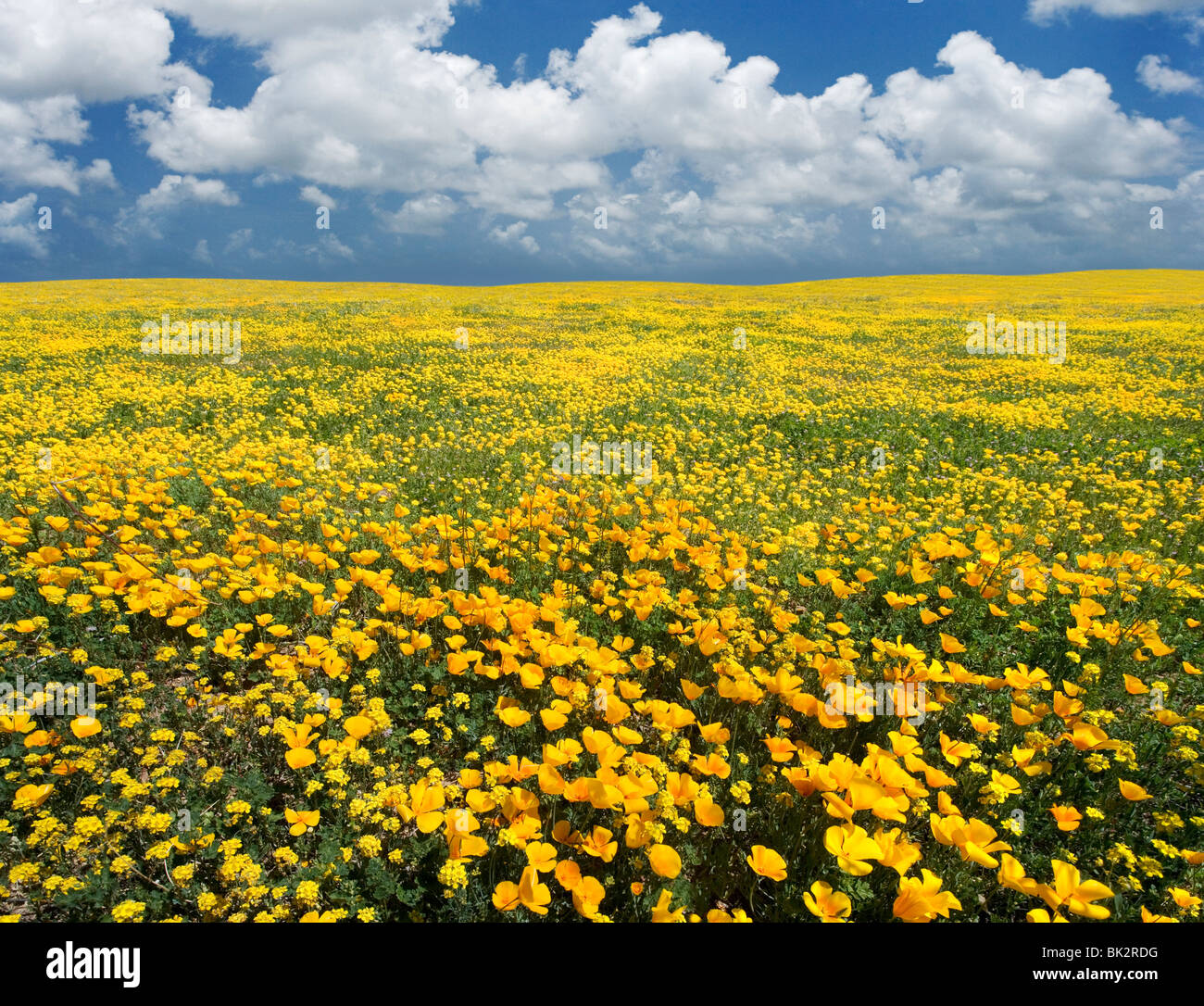 A large field of orange and yellow poppies and wildflowers that goes on forever. The photographer merged two photos - Stock Image