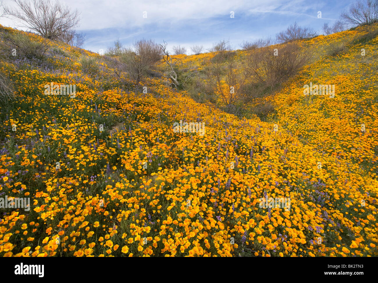 A large field of orange and yellow poppies and wildflowers that goes on forever in Catalina State Park near Tucson. - Stock Image