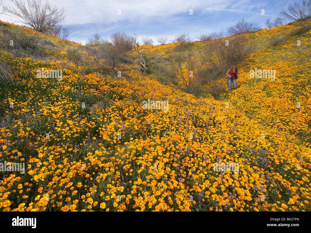 A large field of orange and yellow poppies and wildflowers that goes on forever. A woman photographer walks among - Stock Image