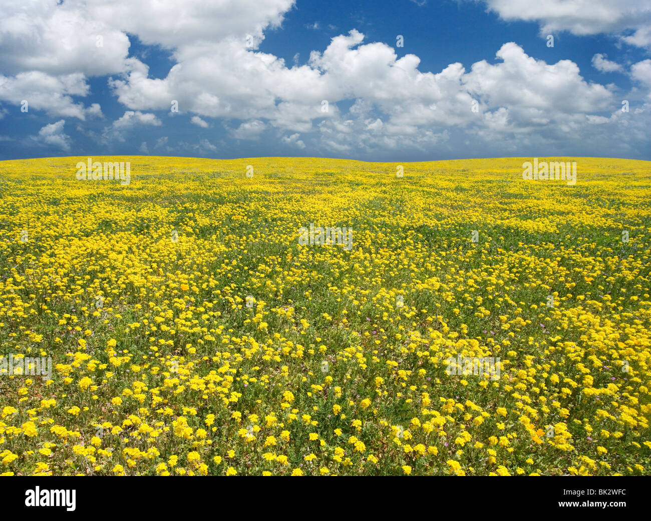 A large field of yellow wildflowers that goes on forever. The photographer retouched the horizon line and sky. - Stock Image