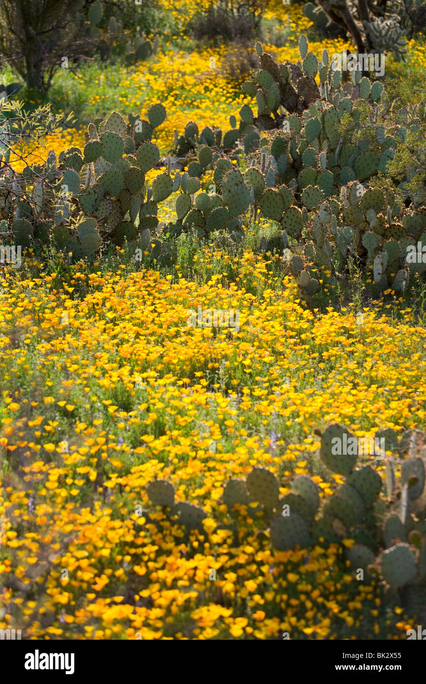 fields of wildflowers in Arizona. The flowers are Mexican Poppies and are blooming in Saguaro West National Park - Stock Image