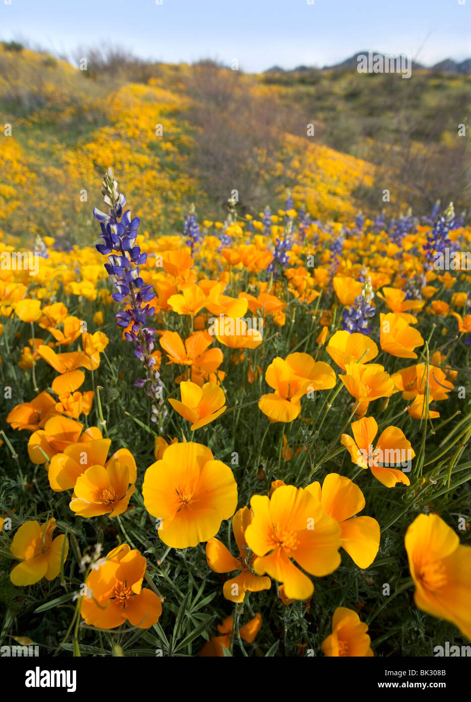 A large field of orange and yellow poppies, lupines, and wildflowers that goes on forever. - Stock Image