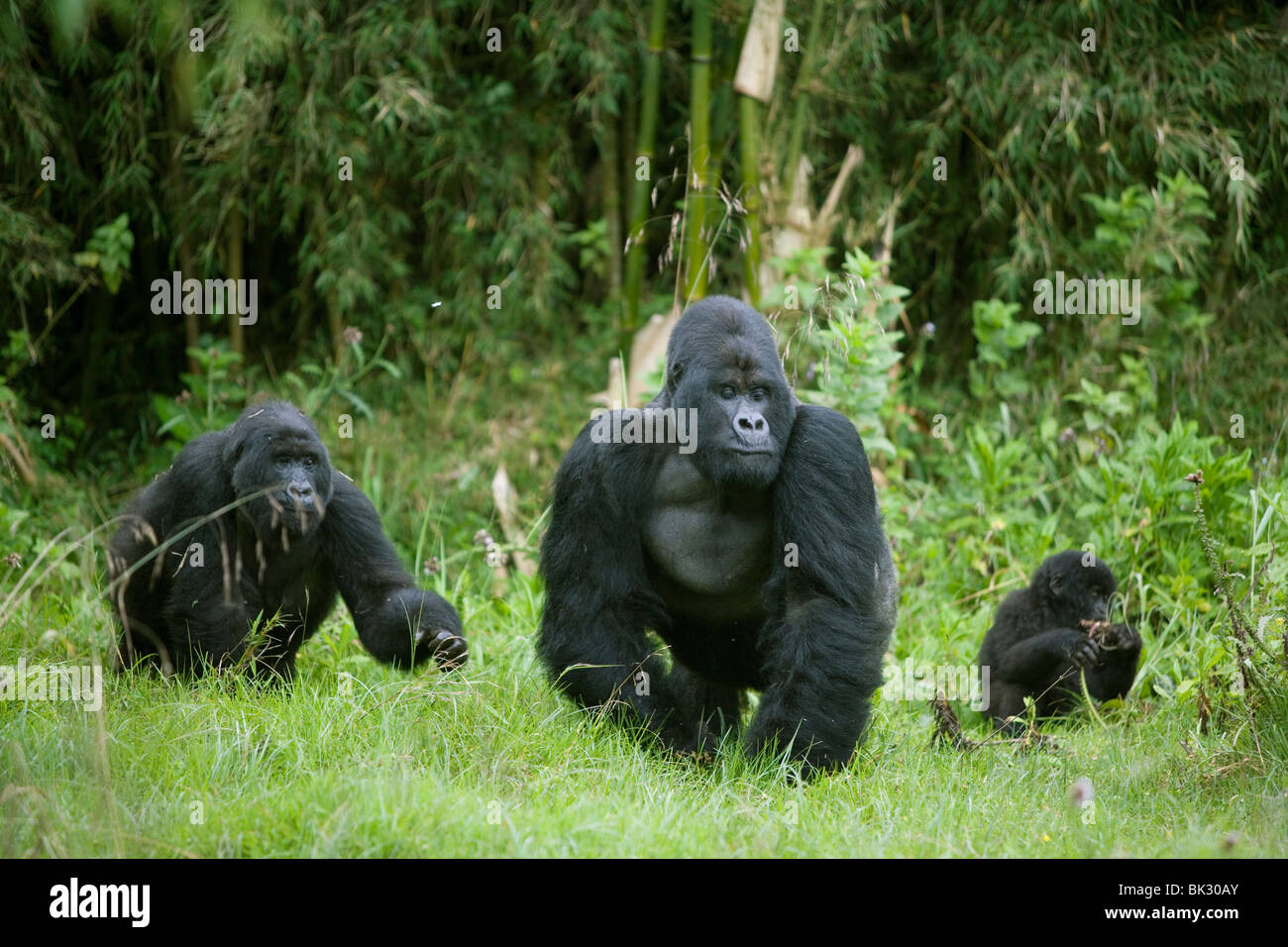 Mountain Gorilla family Gorilla berengei berengei Male Rwanda Africa, by Fritz Polking/Dembinsky Photo Assoc - Stock Image