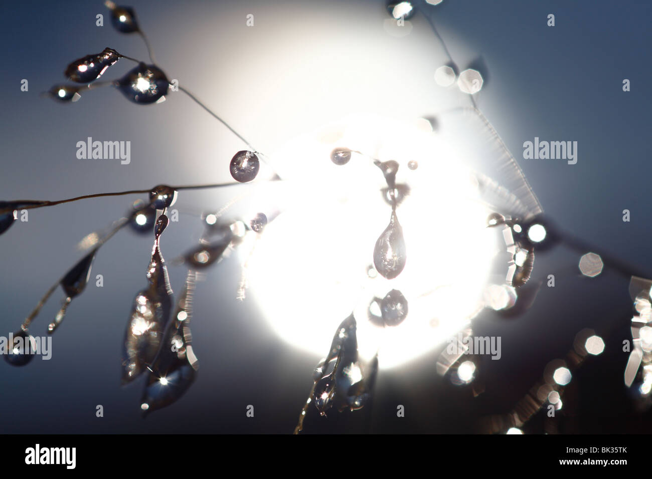 Ice on a seedhead of Fescue grass, with the Sun behind. Powys, Wales. - Stock Image