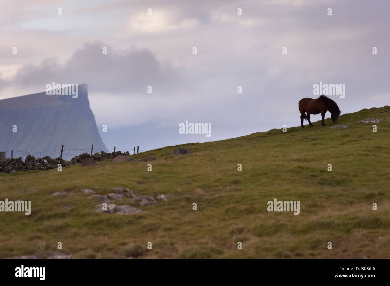 Horses, stallion, Sandoy Island, Faroe Islands, Denmark, Europe - Stock Image