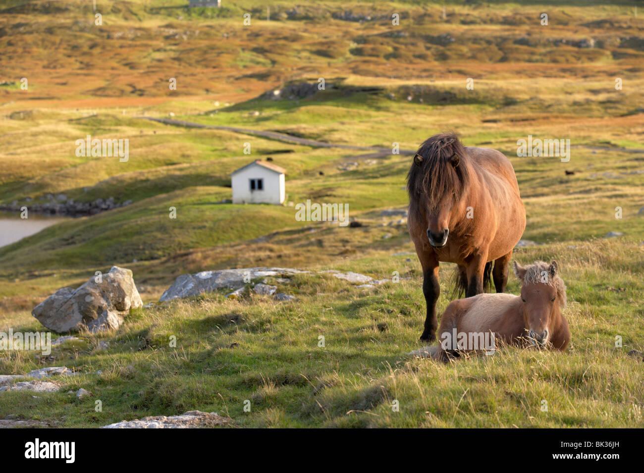 Horses, stallion and foal, Sandoy island, Faroe Islands, Denmark, Europe - Stock Image