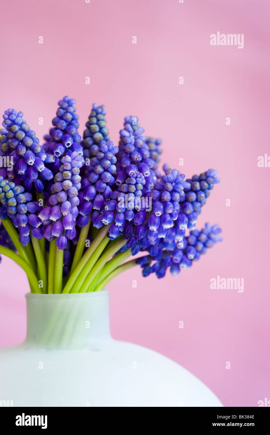 bunch of muscari or grape hyacinth in a vase against a pink background - Stock Image