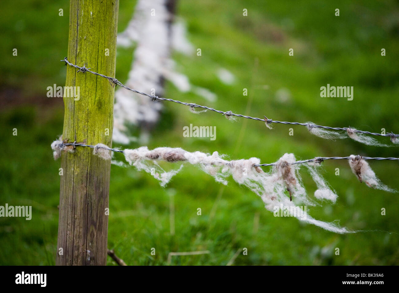 Sheep's wool caught on a fence - Stock Image