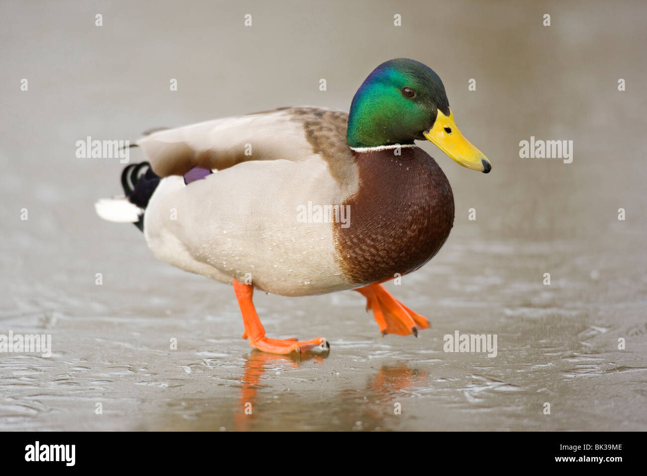 Male mallard in winter standing on ice - Stock Image