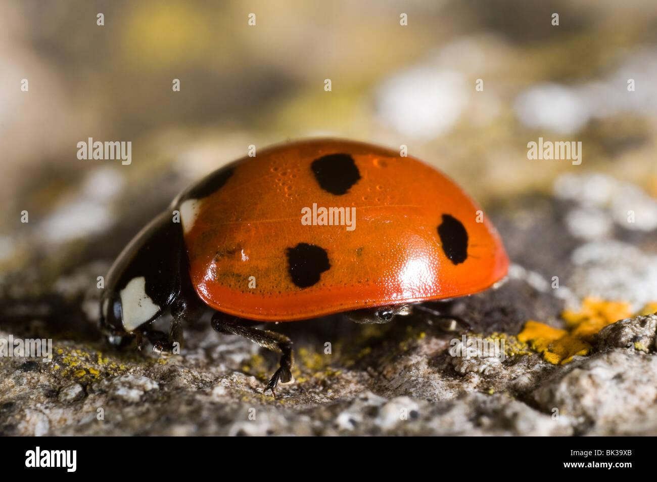 Seven-spot Ladybird (Coccinella septempunctata) on a stone - Stock Image