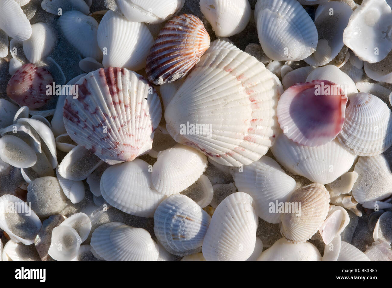 Close up of shells including a fan scallop and calico scallop on a beach on Sanibel Island, Florida, USA - Stock Image