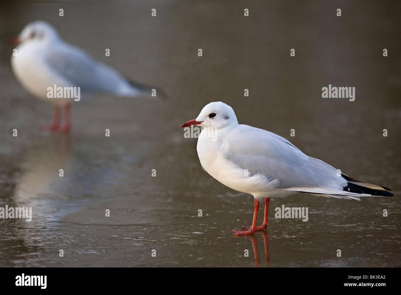 Black-headed gull in winter plumage - Chroicocephalus ridibundus - Stock Image
