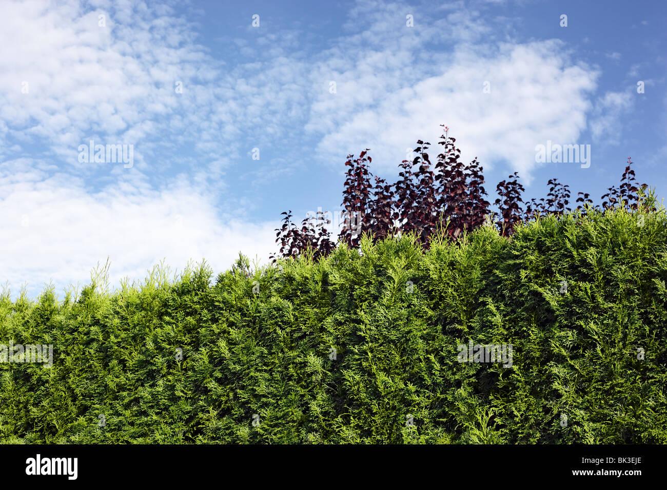 Gartenhecke | xxxxx Stock Photo