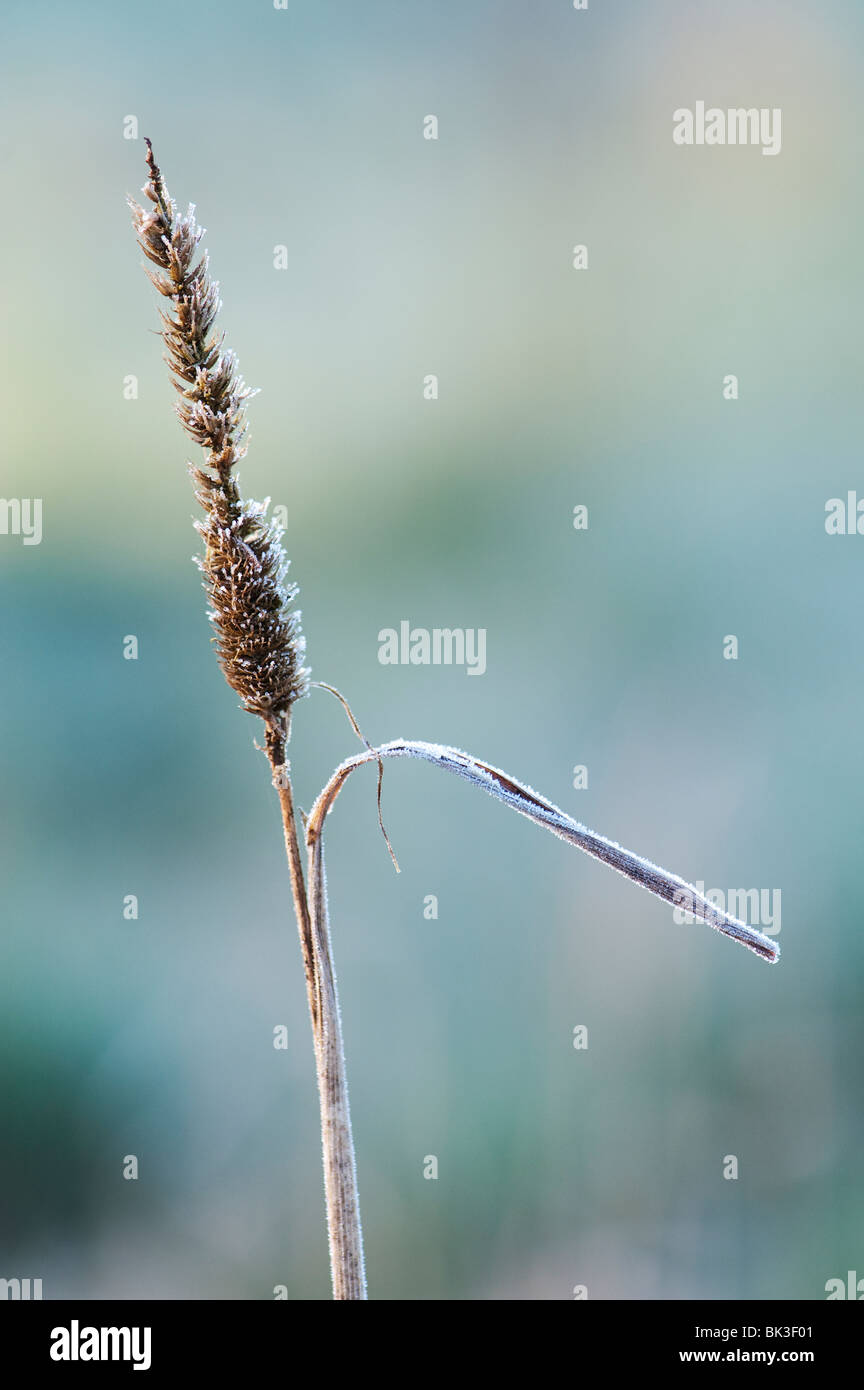 Frosty dried dead grass stem in the English countryside. UK - Stock Image