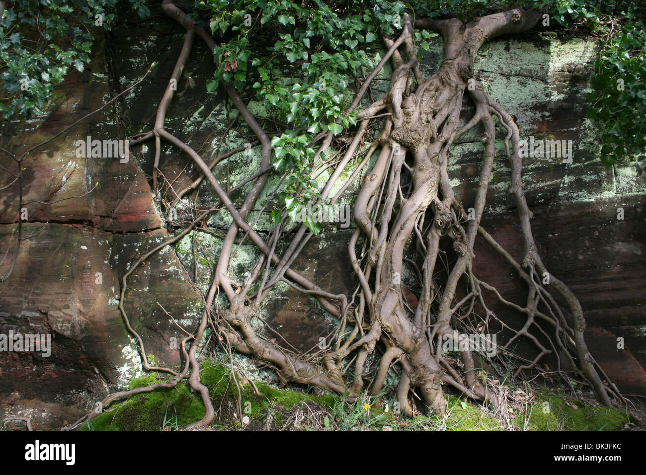 Tree Roots Growing Over Sandstone Taken In Caldy, Wirral, UK - Stock Image