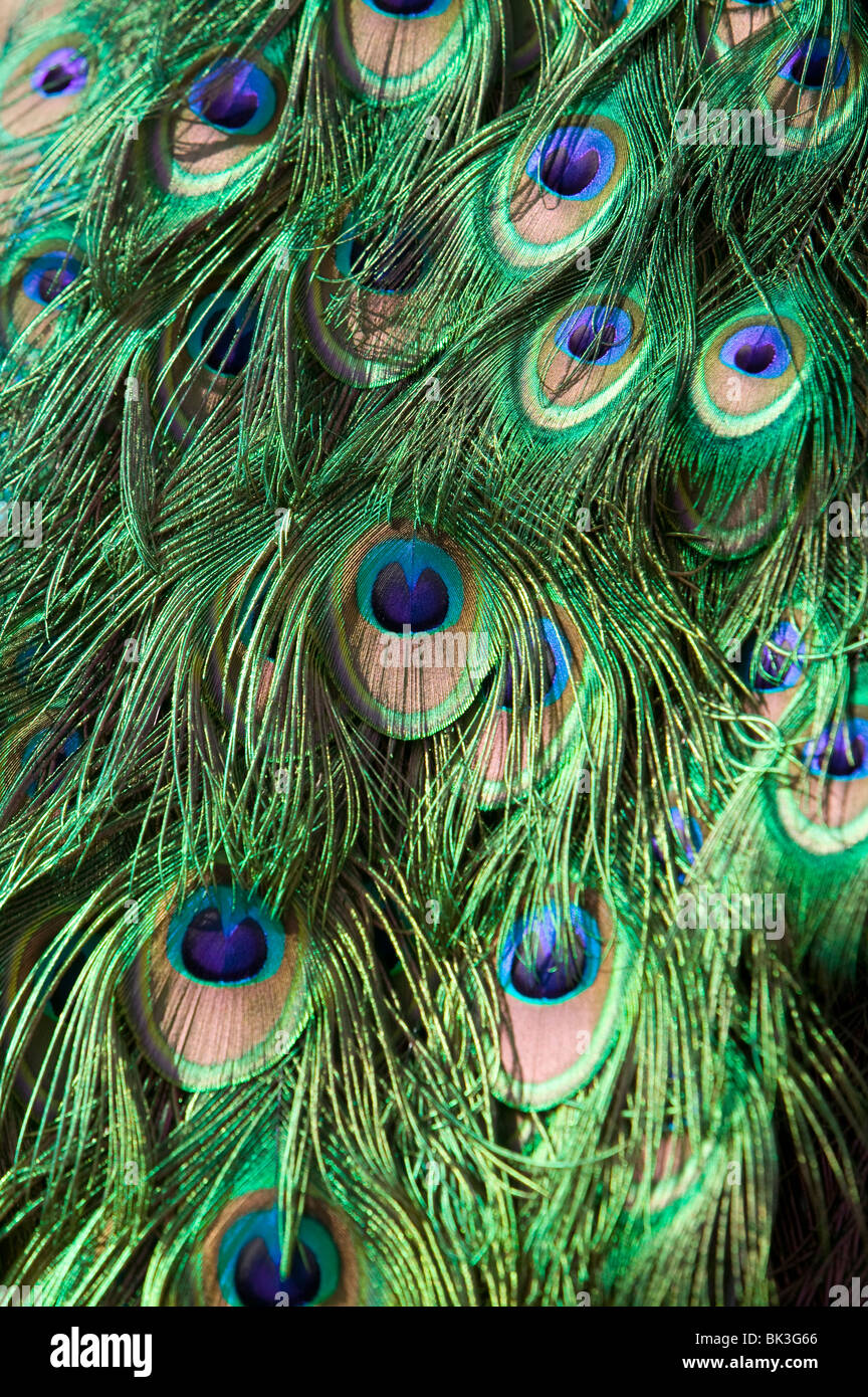 feathers bir colors peacock texture ilustration detail background - Stock Image