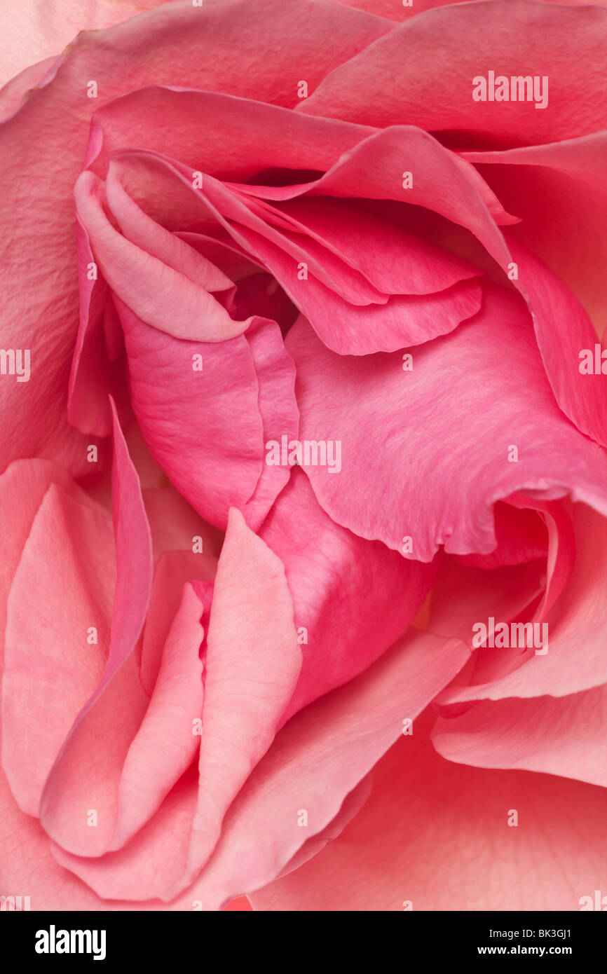pink fresh rose petals arranged in a background pattern - Stock Image