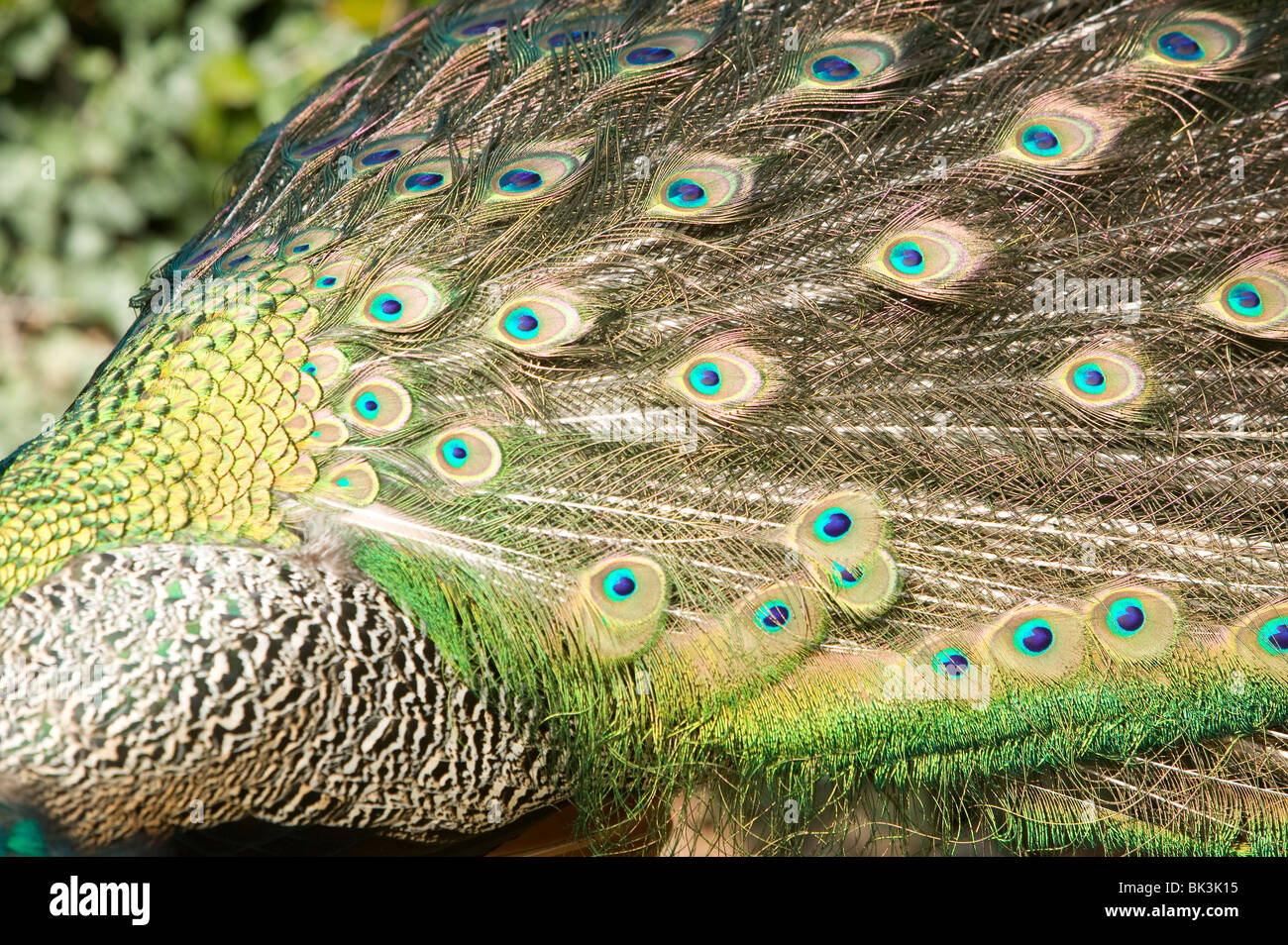 feathers bir colors peacock texture ilustration detail background animal - Stock Image