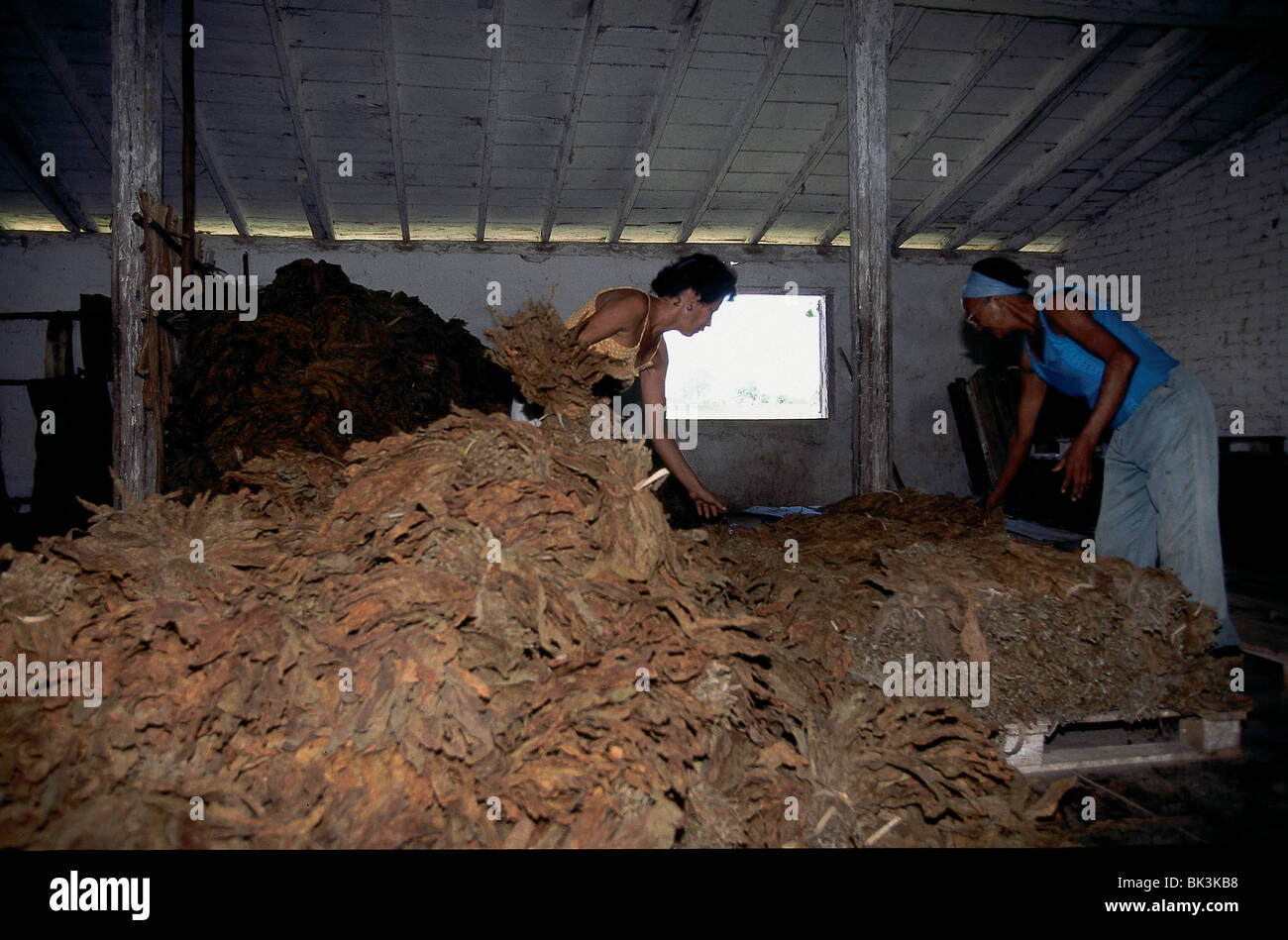 Farm workers sorting tobacco in Pinar del Rio Province, near Sora, Cuba - Stock Image