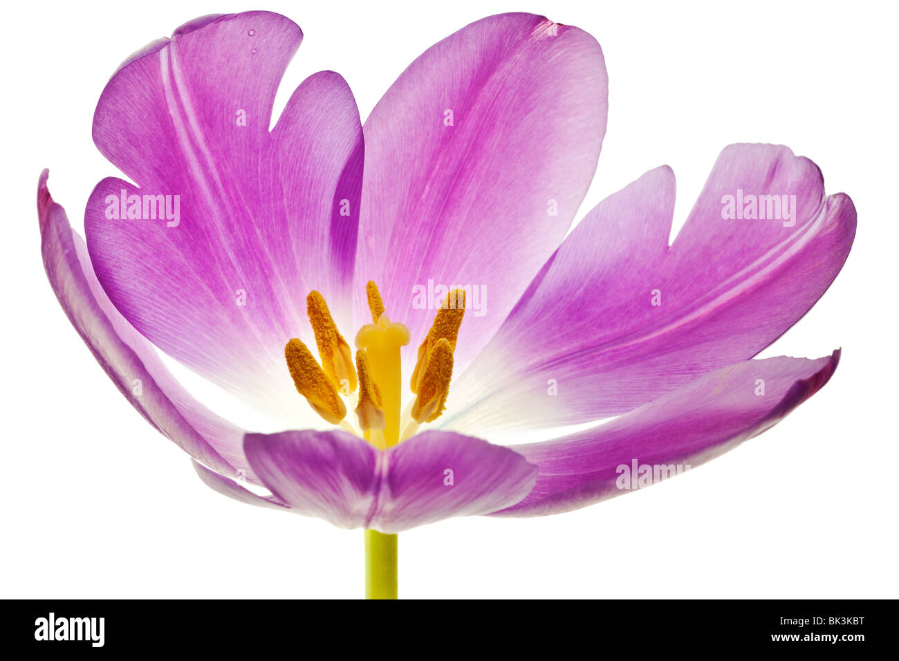 purple tulip isolated on white background - Stock Image