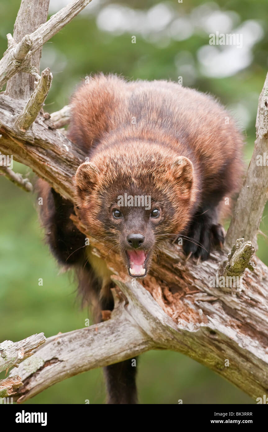 Fisher Cat High Resolution Stock Photography And Images Alamy