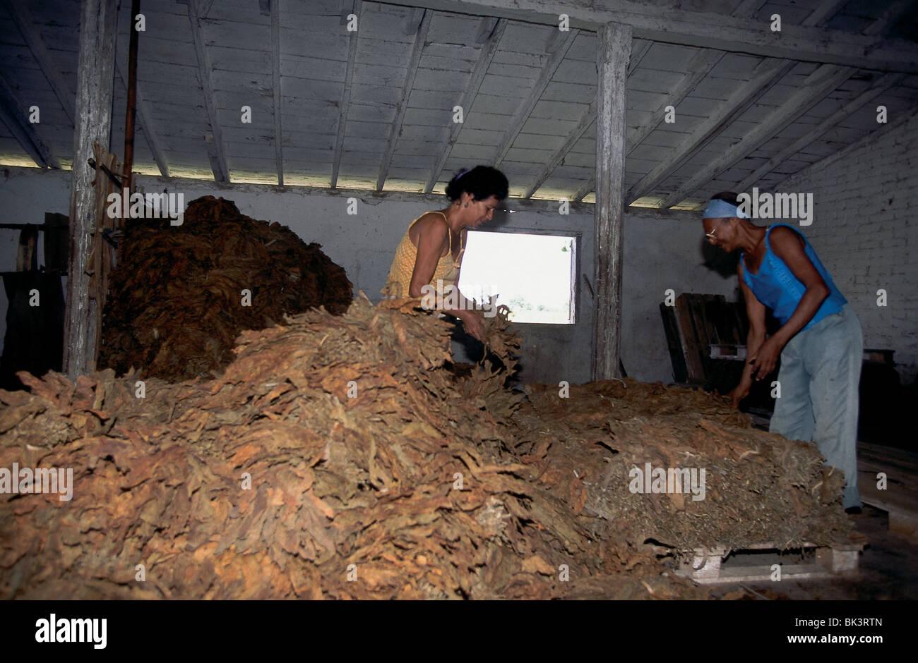 Farm workers processing tobacco in a warehouse, Pinar del RÌo Province near Soroa, Cuba - Stock Image