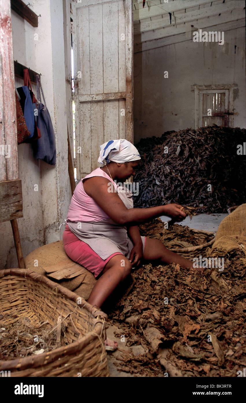 Processing tobacco in Pinar del RÌo Province near Soroa, Cuba - Stock Image