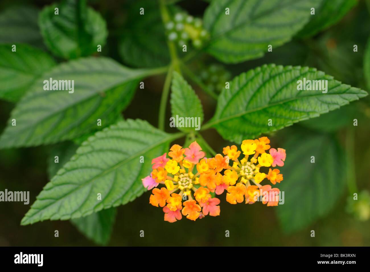 Lantana flowers on bush Stock Photo