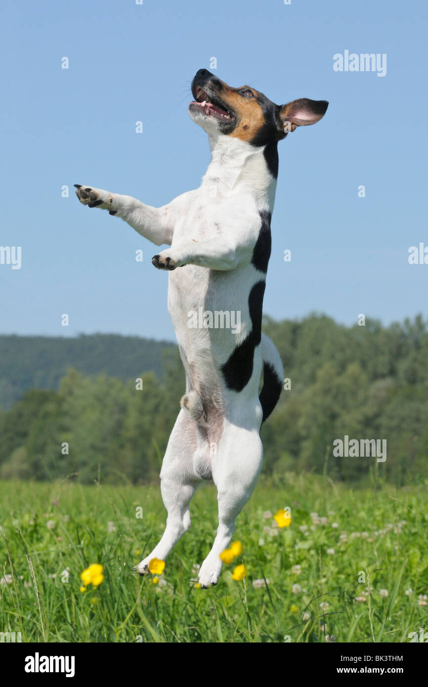 Jack Russel dog jumping up - Stock Image