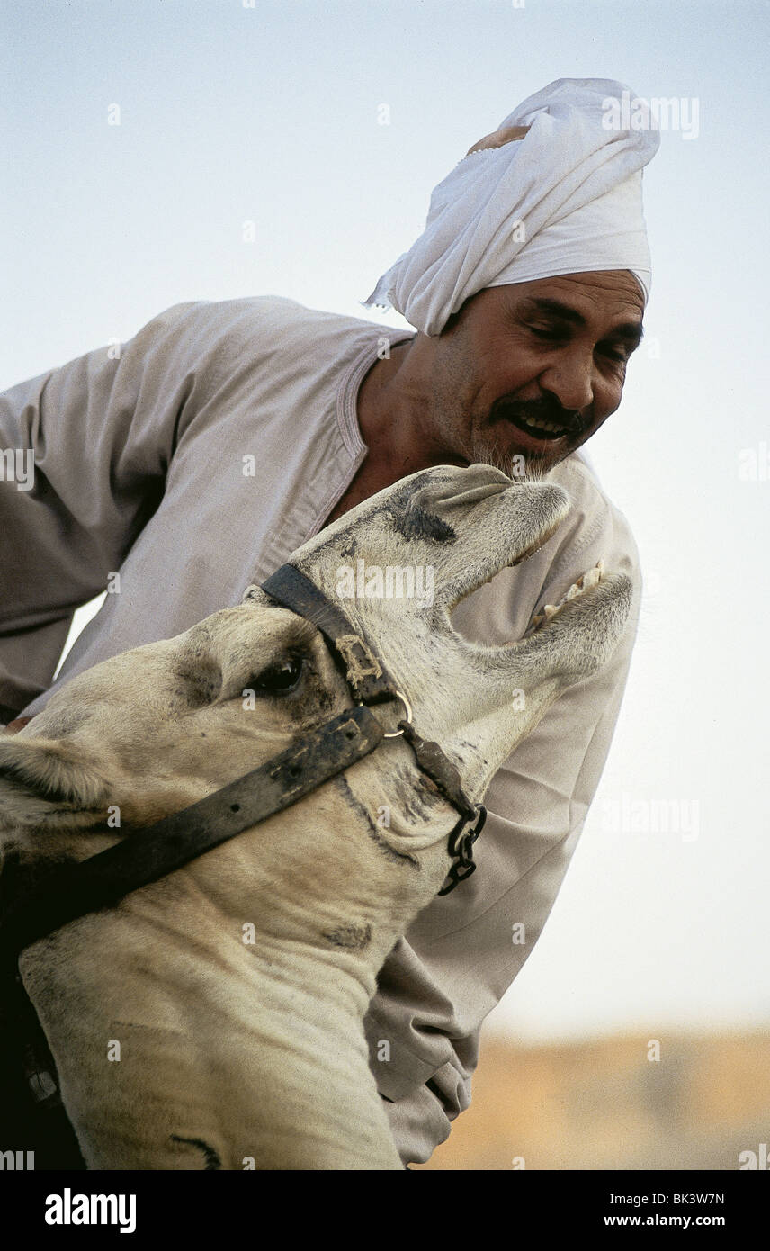 Camel and Rider, Egypt - Stock Image