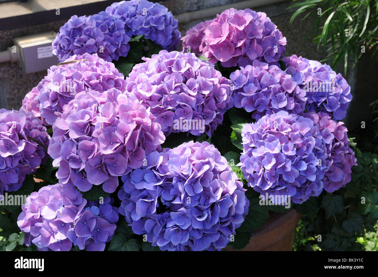 Hydrangeas blooming in Longwood Gardens, Kennett Square, Pennsylvania. - Stock Image