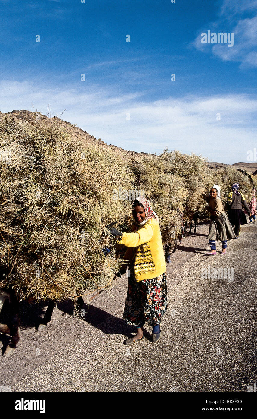 Weeds collected from cultivated fields and used for forage, Morocco - Stock Image