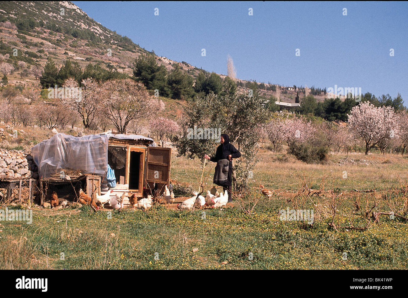 Woman tending to a flock of chickens in rural Greece - Stock Image