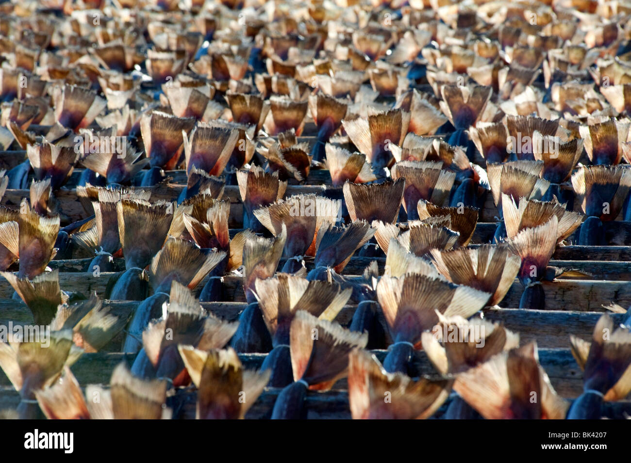 Many cod drying on outdoor racks in Lofoten Islands in Norway - Stock Image
