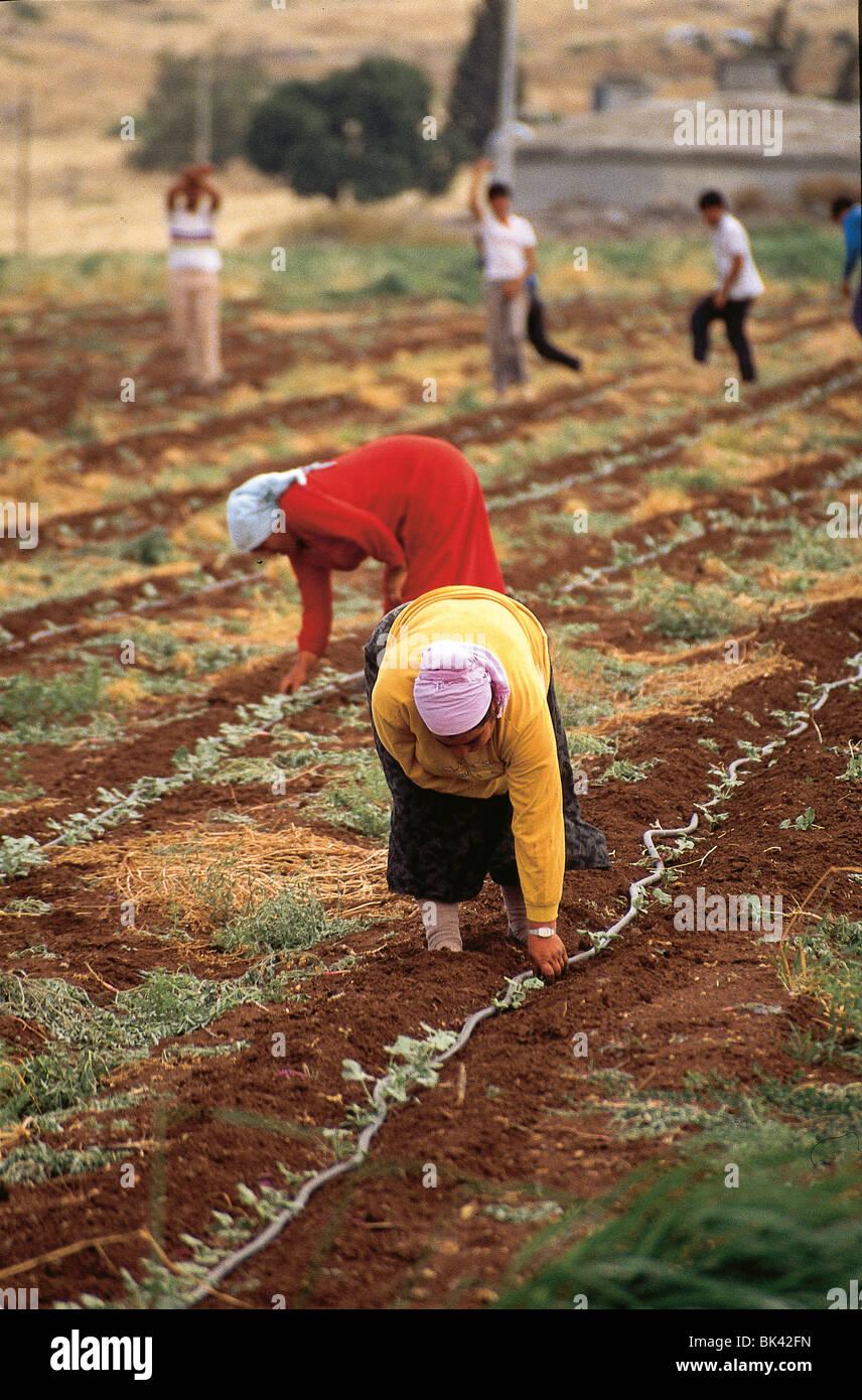 Tending Crops, Israel - Stock Image