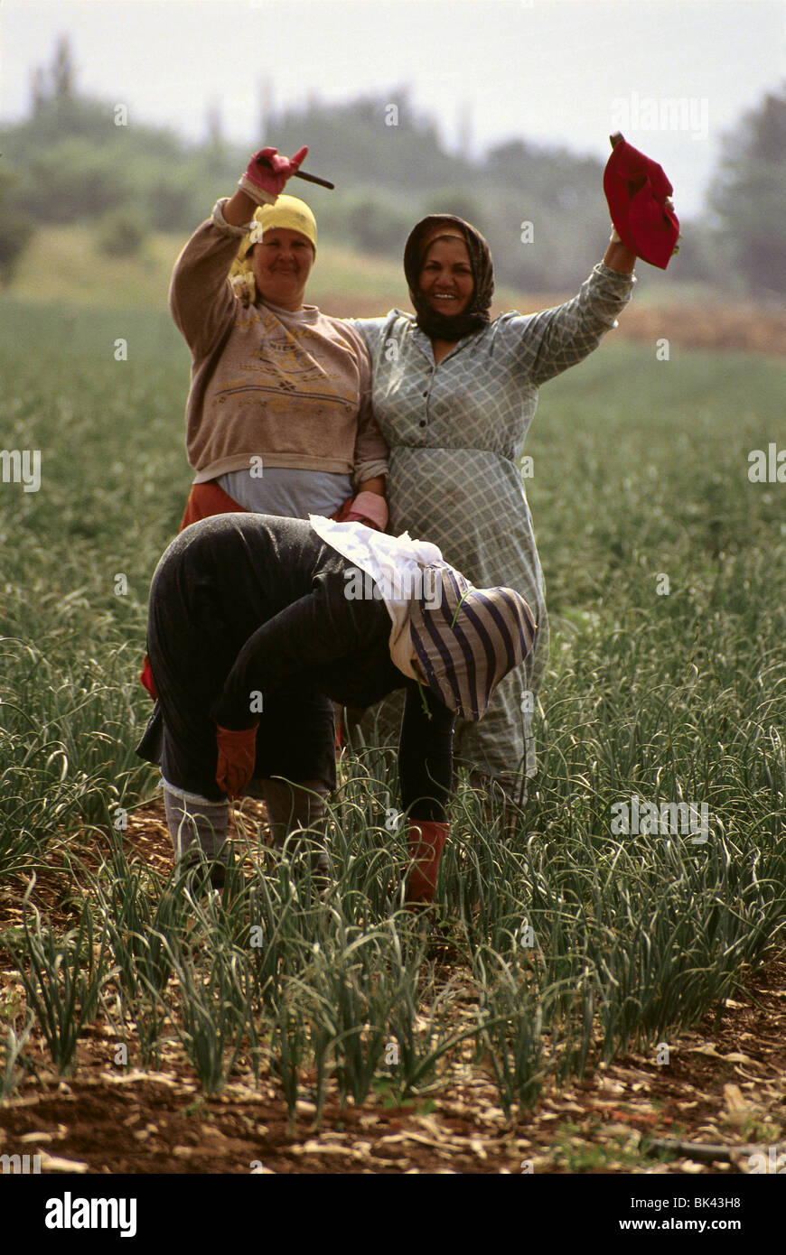Workers in an onion field, Israel Stock Photo